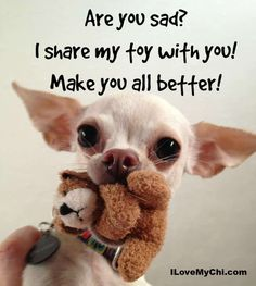 The Chihuahua is basically a dog's breed. The reason of attraction of Chihuahua is his small size, coat varieties and colors. Chihuahua memes are famous because of his funny face and expressions. Cute Chihuahua, Teacup Chihuahua, Chihuahua Puppies, Cute Puppies, Cute Dogs, Dogs And Puppies, Doggies, Chihuahua Quotes, Animals And Pets