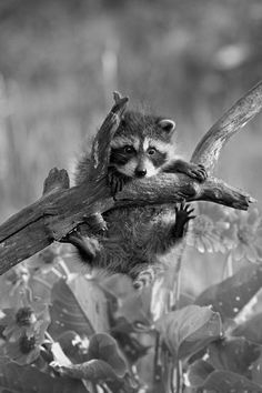 Baby raccoon who thinks he's a panda bear by the way he's hanging off that branch Nature Animals, Animals And Pets, Wild Animals, Beautiful Creatures, Animals Beautiful, Beautiful Things, Cute Baby Animals, Funny Animals, Baby Raccoon