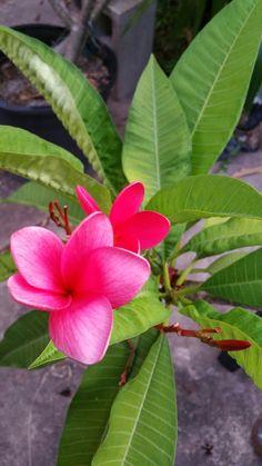 Plumeria in my garden