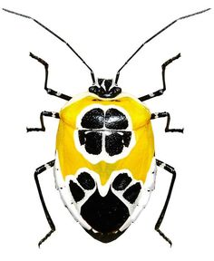 Runibia decorata (looks like a taxi bug)