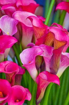 Pink Cannas