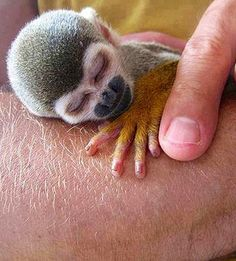 Funny pictures about Baby monkey. Oh, and cool pics about Baby monkey. Also, Baby monkey photos. Tiny Monkey, Cute Baby Monkey, Cute Baby Animals, Funny Animals, Pet Monkey, Primates, Mammals, Orang Utan, Sleeping Animals