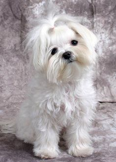 Girl Hairstyles - #maltese Dogs Forum : Spoiled Maltese Forums