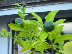 Lots of growing lemons!