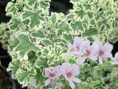 Bildergebnis für Pelargonium Crispum variegatum