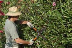 Pruning Oleander Shrubs: When And How To Prune An Oleander - Oleanders can become quite large without trimming. While pruning oleander shrubs is not necessary for health, it will keep the shrub tidy and control its growth. Learn how and when to prune these shrubs here.