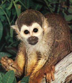 monkey | This is a Squirrel Monkey.