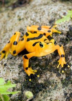 The Golden Frog (<i>Atelopus zeteki</i>) is a highly recognizable species