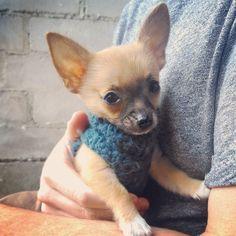 White socks and sleepy eyes  #chihuahuasforlife #chihuahua #chihuahuasofinstagram #chihuahuasofig #chihuahuapuppy #chihuahuasofinsta #chihuahuagram #nacho #nachothechihuahua #aww #cute #cutedog #weeklyfluff #dailyfluff #woof #petsofinstagram #pets #dogsweaters #crochet #crochetsweater #handmade #handbagdog #dogsofinstagram #dogsofsydney #dogs #puppiesofinstagram #puppy #puppylove #dogoftheday #picoftheday by pupnacho