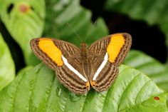 https://flic.kr/p/BVgV63+|+Smooth-banded+Sister+(Adelpha+cytherea+daguana)+|+Bahía+Solano,+Chocó+Department,+Colombia+-+February+19,+2015