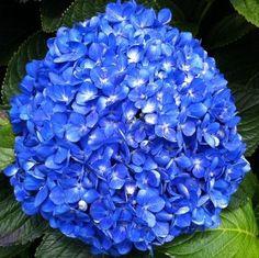 ELITE BLUE JUMBO HYDRANGEA