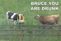 drunk cows