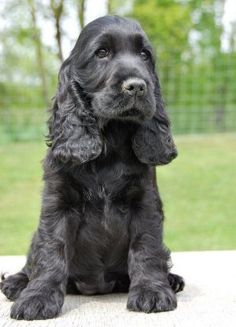 Cocker Spaniels of Black Mystic » P-Wurf by ashleyw
