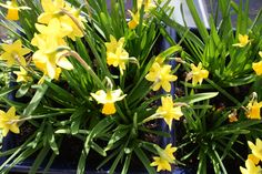 spring daffodils on the balcony