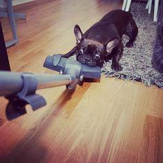frankbulldog's photo: Frenchie VS vaccum cleaner part 2.