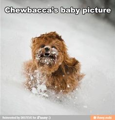 Chewbacca's baby picture / iFunny :)