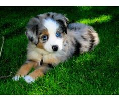 I want one! Mini Australian Shepherd puppy