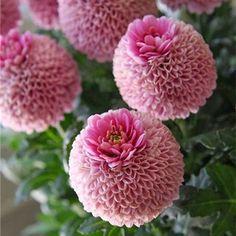 Shade Garden Flowers And Decor Ideas Chrysanthemum Crown, Jenny Pink Unusual Flowers, Amazing Flowers, My Flower, Pink Flowers, Beautiful Flowers, Pink Roses, Flower Bokeh, Flowers Bunch, July Flowers