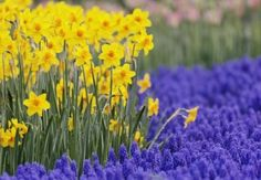 "Miniature Daffodils and Grape Hyacinth Bulbs (Muscari) - ""Armeniacum"". Bulbs For Sale at EdenBrothers.com"