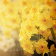 Daffodils 8x8 Fine Art Photography Narcissus Yellow White Orange Flower Shabby Chic Cottage Floral Easter Home Decor Wall Art