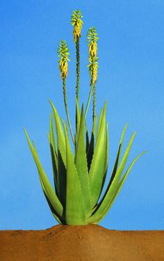 Aloe Vera, per il tuo benessere e la tua bellezza
