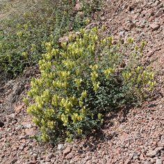 Scutellaria adenostegia Briq. Seeds For Sale, Nova, Plants, Plant, Planets