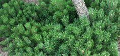Krummholz Kiefer - Pinus mugo mughus