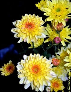 yellow chrysanthemums at a priest's coffin