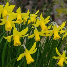 Buy cyclamineus daffodil bulbs Narcissus February Gold - Long lasting, early flowers: 10 bulbs: Delivery by Crocus Narcissus Bulbs, Daffodil Bulbs, Daffodil Flower, Cactus Flower, Daffodils, Pansies, Tulips, Exotic Flowers, Colorful Flowers