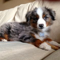 All the things we all adore about the Australian Shepherd Dogs - Animals Merle Australian Shepherd, Aussie Shepherd, American Shepherd, Aussie Puppies, Cute Puppies, Cute Dogs, Dogs And Puppies, Doggies, Toy Aussie