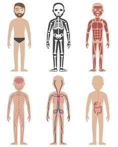 More than a million free vectors, PSD, photos and free icons. Exclusive freebies and all graphic resources that you need for your projects Human Anatomy Chart, Body Anatomy, Body Preschool, Preschool Activities, Science For Kids, Science And Nature, Health Education, Kids Education, Human Body Activities