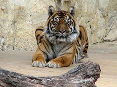 Beautiful Sumatran Tiger Berani   by The Brit_2
