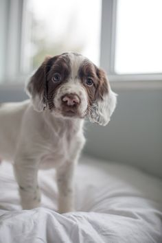 Springer Spaniel Puppy - Whooper Hill Dodge The Dash - English Springer Spaniel Puppy by FTCH Rothievale Medlar Of Edgegrove - photo by Heni Fourie Photography