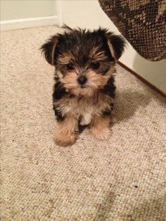 dogs and puppies yorkie yorkshire terrier Cute Baby Dogs, Cute Little Puppies, Cute Dogs And Puppies, Cute Little Animals, Tiny Puppies, Morkie Puppies, Yorkies, Yorkshire Terrier Puppies, Maltese Yorkie Puppy
