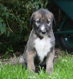 Irish Wolfhound Puppies Georgia