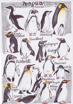 compare types of penguins - average height, where they're found, if they like warm/cold weather