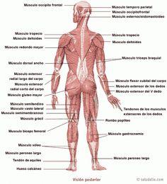 13 Ideas De Músculos Del Cuerpo Humano Músculos Del Cuerpo Humano Musculos Del Cuerpo Musculos