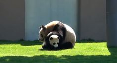 Having A Bad Day?  These Wrestling Pandas Will Cheer You Up!