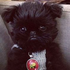 We all know that Alo has got that one under control though. | Meet Alo, The Griffon Pup Out To Steal Your Heart