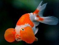 Bubble Eye Goldfish - Carassius auratus