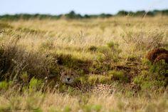 Cheetah hiding from the sun. {Photograph by: Kyle Ansell} #amakhala #safari #cheetah #summer