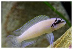 "Chalinochromis brichardi - ~5.5"" tanganyikan, mildly aggressive"