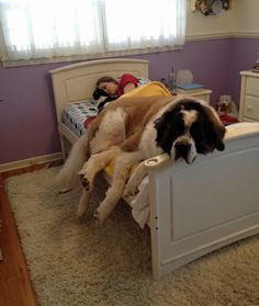 15 Dogs That Don't Know How Big They Are § Bed Hog § Sharing the bed has become a delicate balance. © Mom.me
