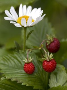 Close-Up of a Flower with Wild Three Strawberries