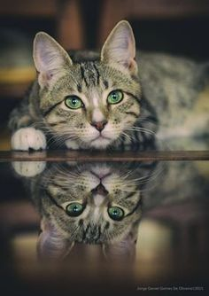 Cat in Reflection.