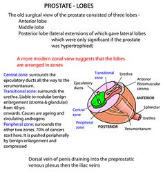 Instant Anatomy - Abdomen - Areas/Organs - Urinary tract - Prostate Lobes