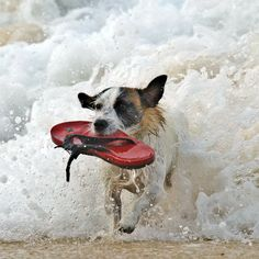 A dog retrieves a sandal from the sea during the women's Billabong Rio Pro surfing championship in Rio de Janeiro, Brazil