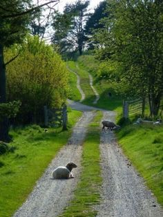 sheep in countrylane