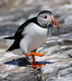 Yono soy un pingüino.