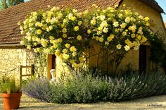"""I have a """"Golden Showers"""" climbing rose bush outside of my back door.. I only hope it grows as beautiful as this one has.."""